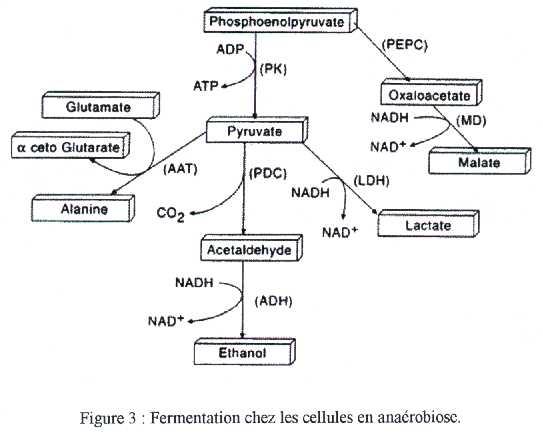 lactate déshydrogénase ldh